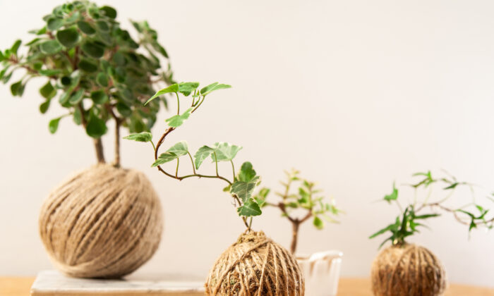Japanese moss balls are becoming more popular in the rest of the world. (Katrina Davydova/Shutterstock)