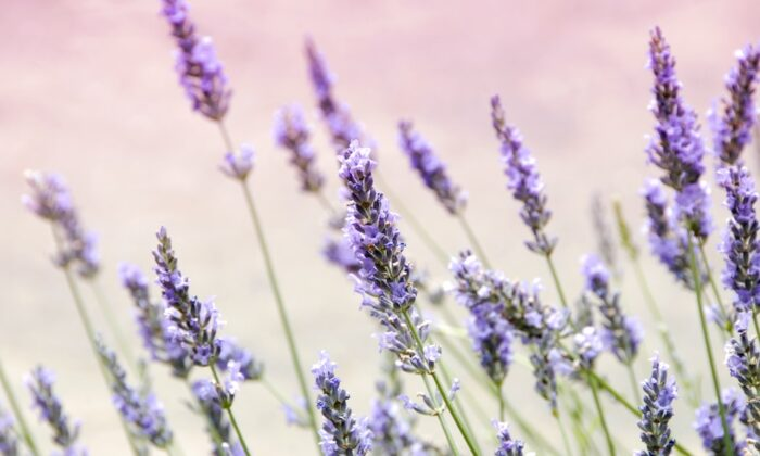 Nature's herb of creativity with a calming color that composes clarity.(Janine Joyles/Unsplash)