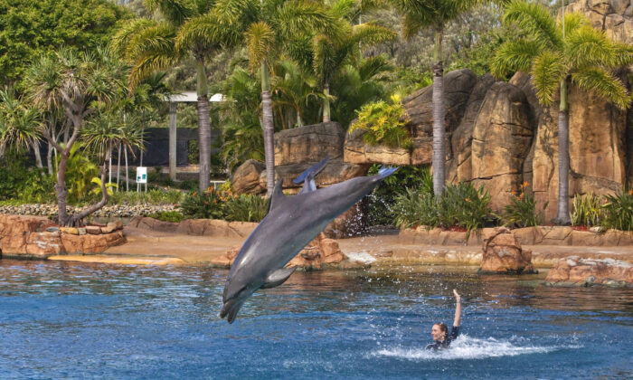 Sea World Dolphin Show in Gold Coast, Australia, on April 8, 2020.  (Sheba_Also/Wikimedia Commons)