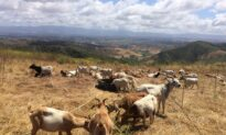 Herds of Goats Help Protect City From Fire Season