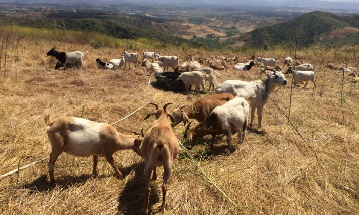 Goats perform weed-abatement duties in Laguna Beach, Calif., on May 27, 2019. (Michelle Thompson/The Epoch Times)