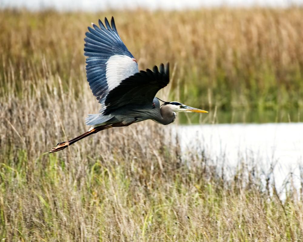 A,Great,Blue,Heron,Taking,Off,In,A,Salt-marsh,In
