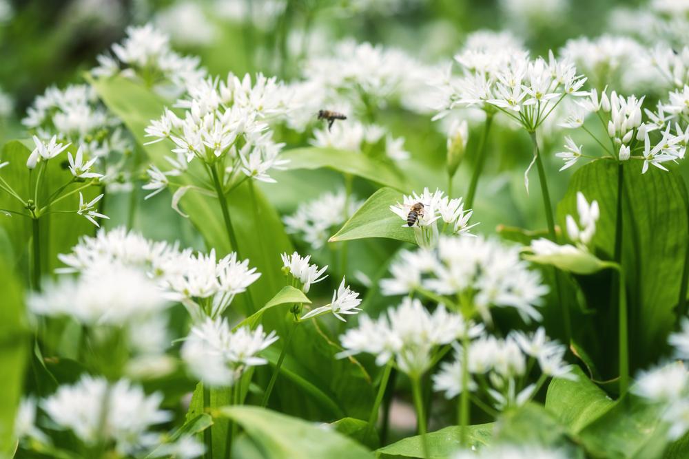 Ramson,(wild,Leek),Or,Wild,Garlic,During,Flowering,Season,,Beautiful