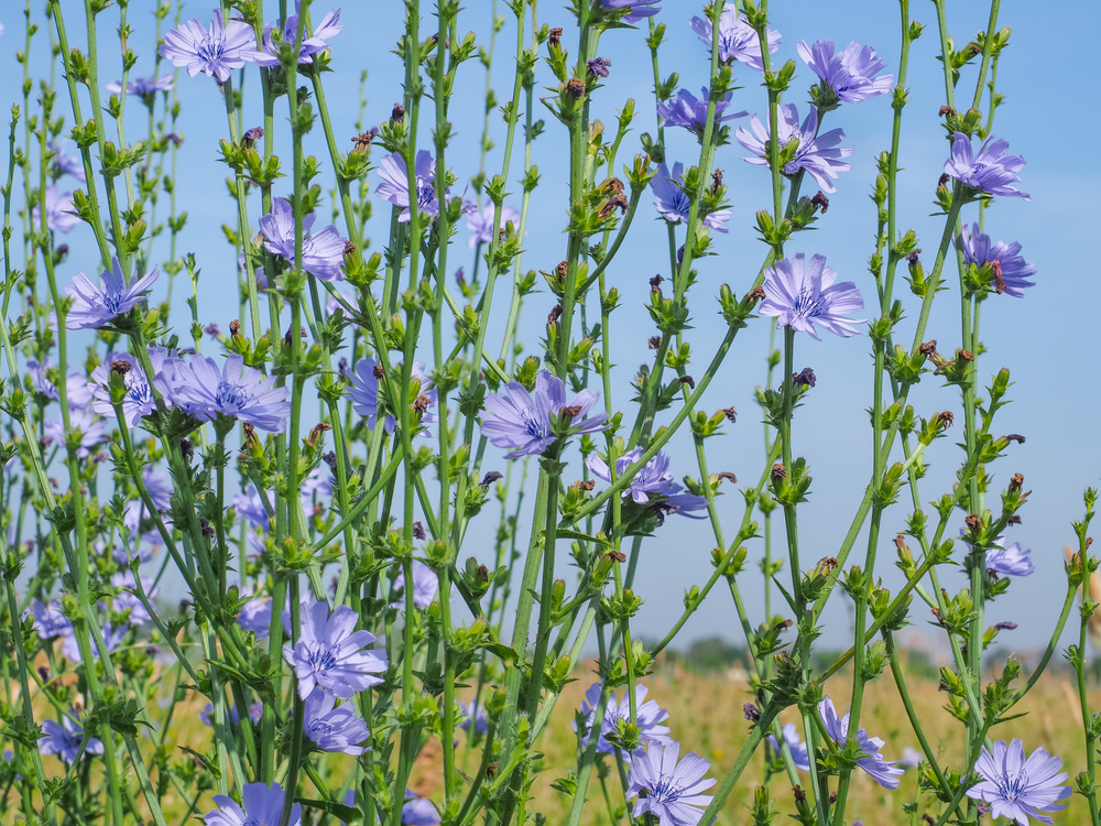 Beautiful,Floral,Landscape.,Field,Of,Blue,Chicory.,Cichorium,Intybus,Flowers,