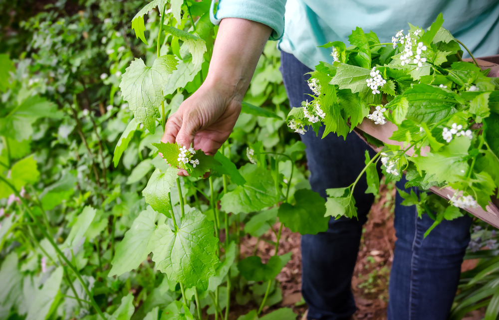 Foraging,For,Wild,Food.,A,Woman,Picking,The,Invasive,Species