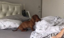 Funny Sausage Dog Won't Allow Its Owner to Make Her Bed