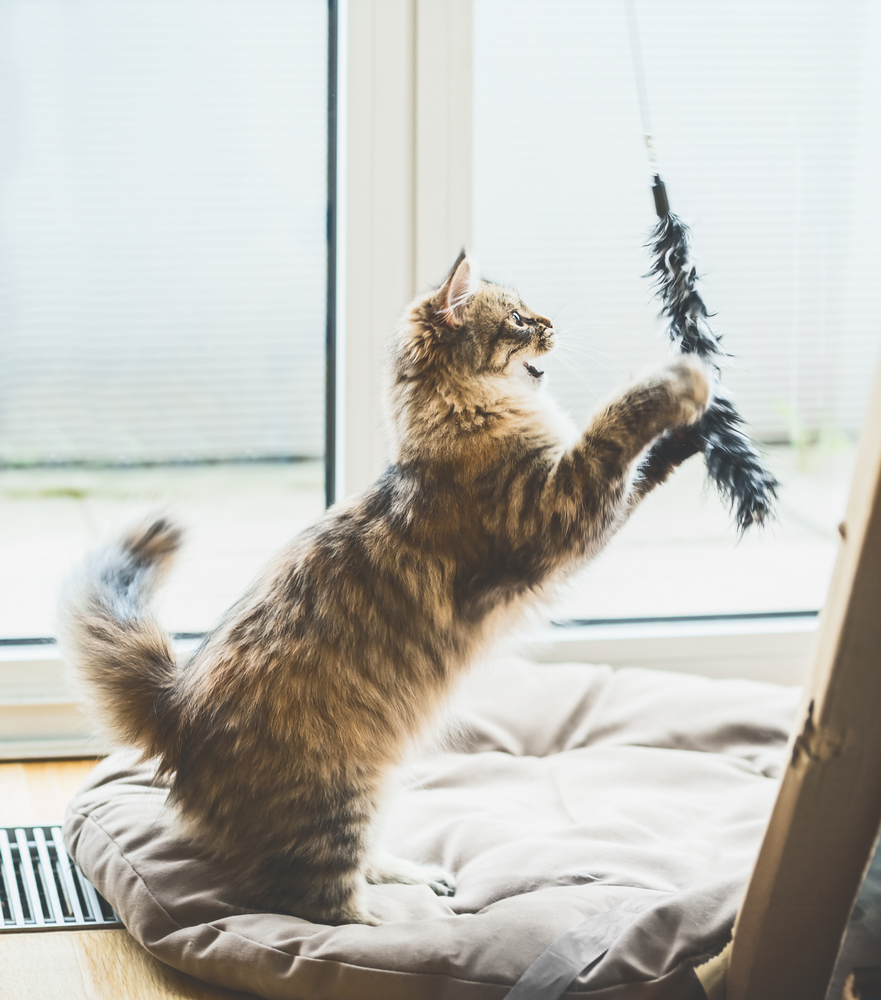 Siberian,Cat,Game.,Fluffy,Kitten,Jumping,And,Catches,A,Toy