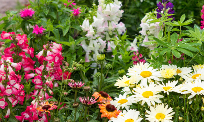 Garden perennials are long-lasting plants that come up each spring from underground storage structures such as bulbs, tubers, and roots. (Martina Osmy/Shutterstock)