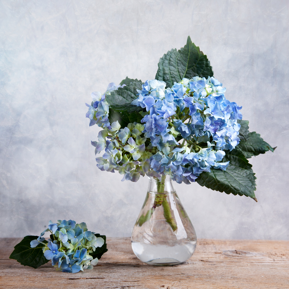Still-life,With,Blue,Hortensia,Flowers,In,Glass,Vase