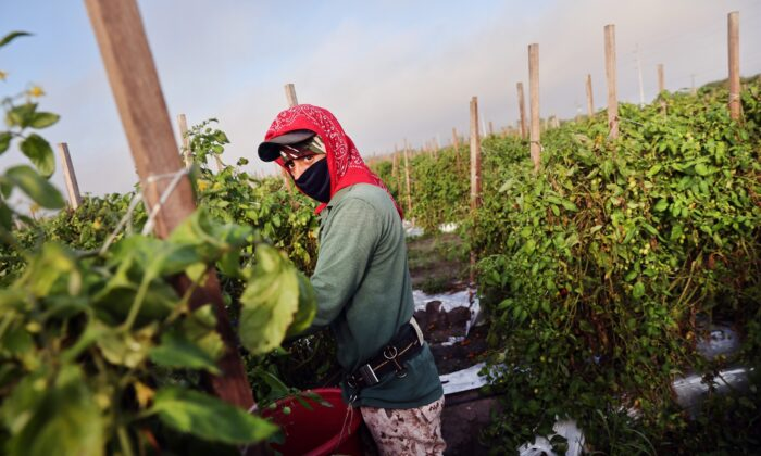 A worker picks tomatoes at a farm in Immokalee, Fla., on Feb. 19, 2021. (Spencer Platt/Getty Images)