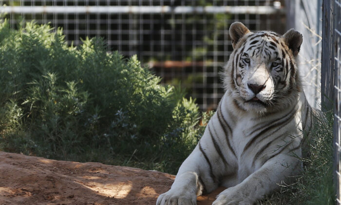 One of the tigers living at the Greater Wynnewood Exotic Animal Park is pictured at the park in Wynnewood, Okla., on Aug. 28, 2013. (Sue Ogrocki/File/AP Photo)