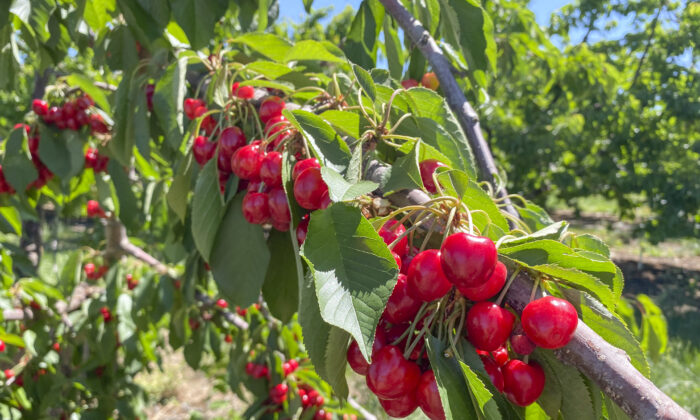 A branch of ripening cherries at Nunn Better Farms in Brentwood, Calif., on May 20, 2021. (Ilene Eng/The Epoch Times)