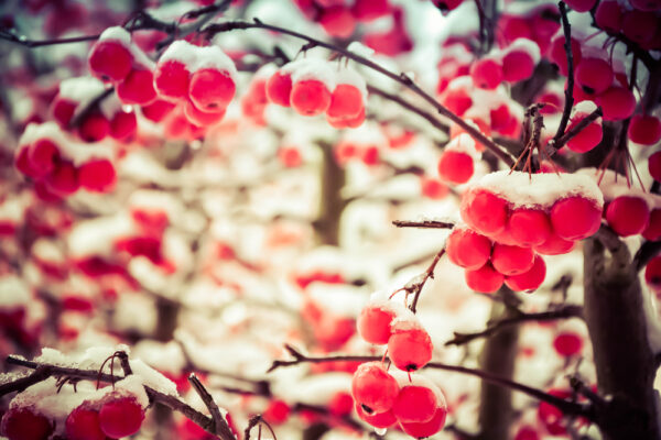 red cherries in snow