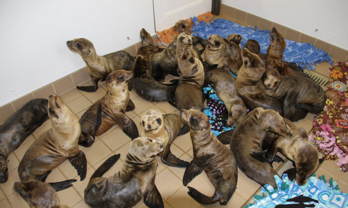 Sea lions are treated at the Pacific Marine Mammal Center. (Courtesy of the Pacific Marine Mammal Center.)