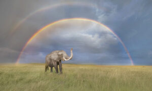 Wildlife Photographer Captures a Beautiful Image of an Elephant in Front of a Double Rainbow