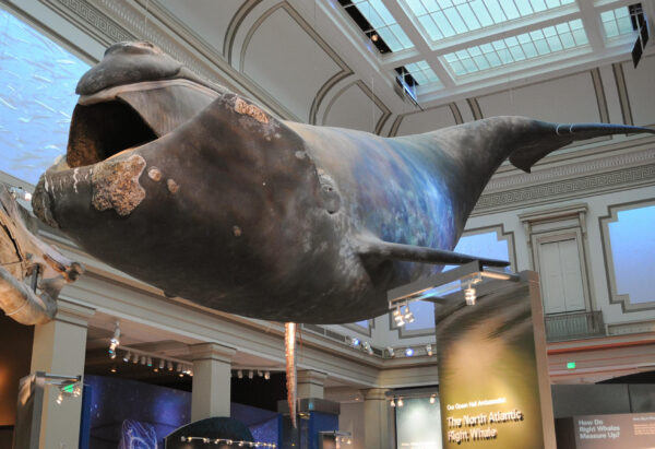 A full-scale model of a North Atlantic Right Whale