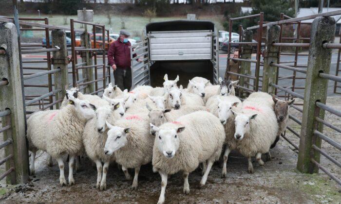 British sheep farmer, UK, on May 23, 2021. (David Davies/PA)