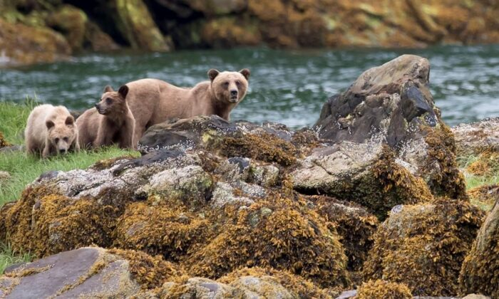A grizzly bear and its two cubs are seen in the Khutzeymateen Inlet near Prince Rupert, B.C., on June, 22, 2018. (The Canadian Press/Jonathan Hayward)