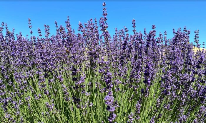 Imperial Gem lavender in full bloom at Soul Food Farm in Vacaville, Calif., on May 25, 2021. (Ilene Eng/The Epoch Times)