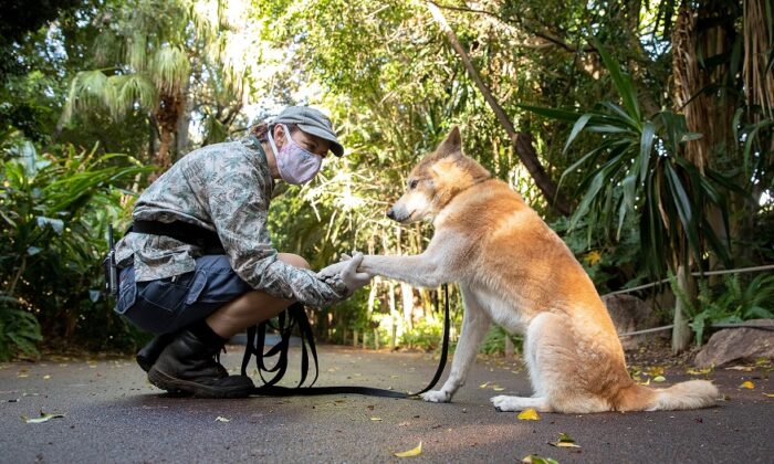 A Perth zoo keeper interacts with Mirri the Dingo whilst on a walk at Perth Zoo in Perth, Australia, on April 23, 2020. (Paul Kane/Getty Images)
