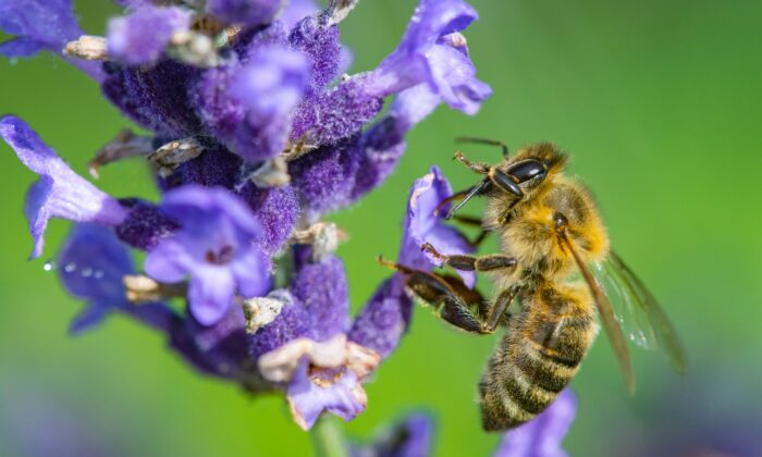 synthetic pesticides used in conventional farming have been linked to the decline of bees, a critical pollinator. (ETgohome/Shutterstock)