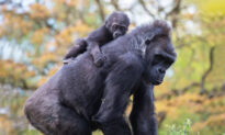 Hand-Reared Baby Gorilla Gets Surrogate Mom After Birth Mother Struggles to Care For Him