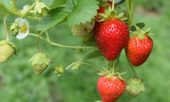 Strawberries come in three major groups. (Oliver Hale/Unsplash)