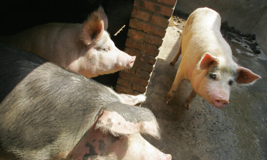 China's Pig Farmers Brave Slumping Pork Prices, Possible Shutdown