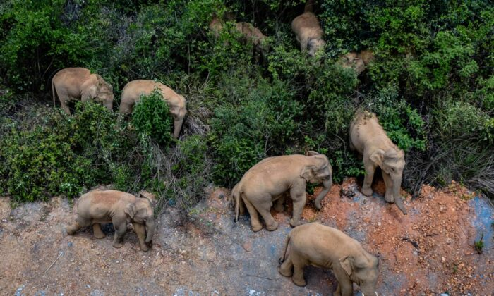 A herd of wild Asian elephants stands in E'shan county in southwestern China's Yunnan Province, China, on May 28, 2021. (Hu Chao/Xinhua via AP)