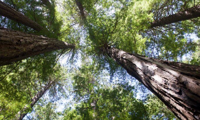 Muir Woods redwood trees can reach heights of 250 feet. (Courtesy of Karen Gough)