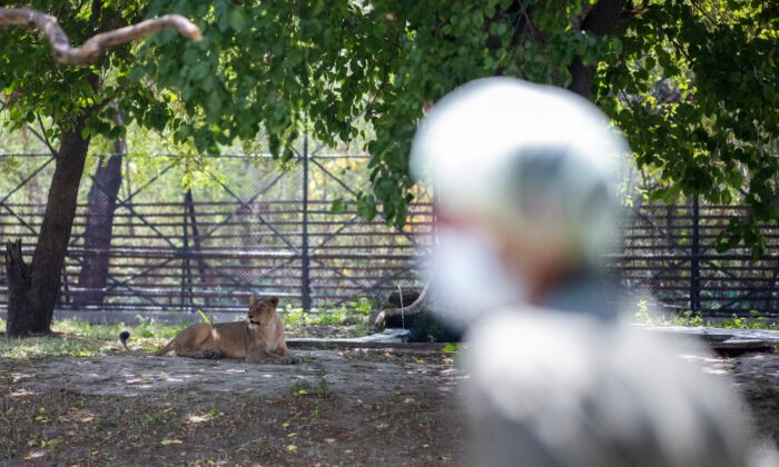 A worker stands next to an enclosure of lioness at the National Zoological Park in New Delhi, India, on April 1, 2021. (Jewel Samad/AFP via Getty Images)