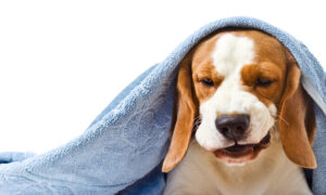 Collapsing Trachea Causes Dry, Honking Cough in Small Dogs