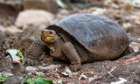 Giant Tortoise Considered Extinct 100 Years Ago is Found Still in Existence in Ecuador