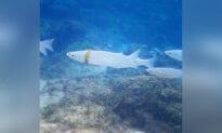 Snorkeler Spots Groom's Lost $1,000 Wedding Band Stuck Around Mullet Fish in Australia