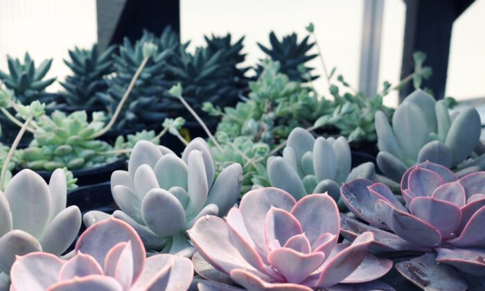 Succulents are a great choice for indoor spaces as they require little attention, and are very hearty. (Madison Inouye/pexels)
