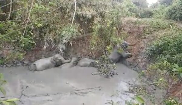 An elephant herd is seen stranded in a mud pit