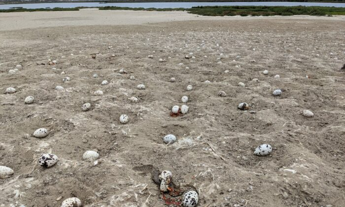 Thousands of elegant tern eggs were abandoned after an errant drone crashed among their nesting field at the Bolsa Chica Ecological Reserve, frightening the birds away from their natural breeding ground. (Courtesy of the California Department of Fish and Wildlife)