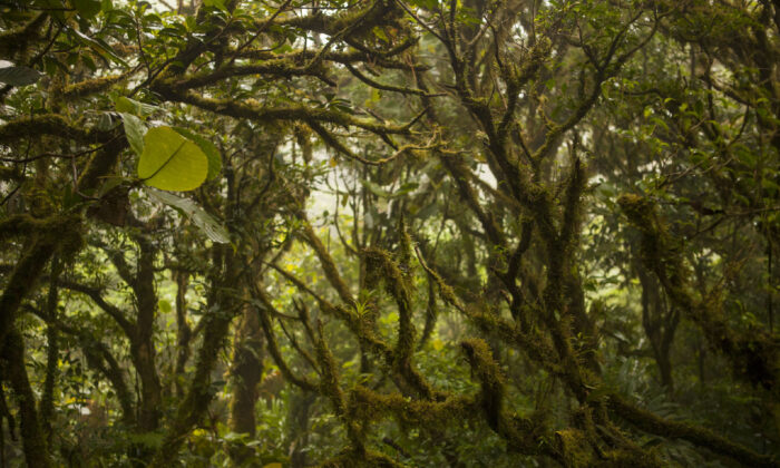 Every inch of the trees in Costa Rica's Monteverde Cloud Forest is covered with plant life. (Courtesy of Dreamstime)