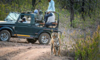 Sneaky Tigress Confidently Walks by Safari Visitors as They Look the Wrong Way