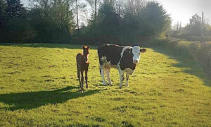 Orphaned Foal 'Adopted' by Cow Foster Mom Who Nurses Him as Her Own in Ireland