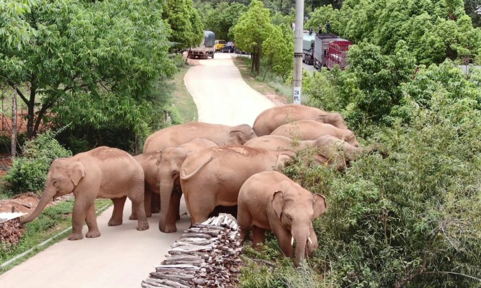 A migrating herd of elephants graze in Kunming, southwestern China's Yunnan Province, on June 4, 2021. (Yunnan Forest Fire Brigade via AP)
