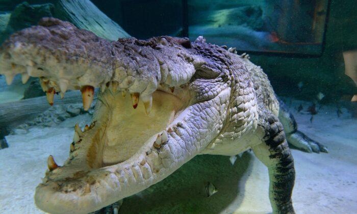 Undated image of a Salt Water Crocodile at Melbourne Aquarium in Australia. (Anthony Devlin/PA)