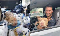 Man Finds Pit Bull Stabbed 7 Times Hiding Under His Truck, Gives Her New Forever Home