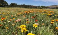 Petition Calls on Rancho Santa Margarita to Protect Flower Field From Redevelopment