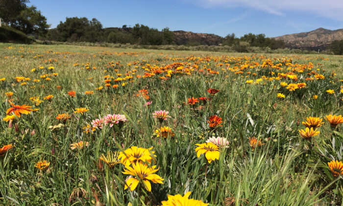 The popular Rose Canyon flower field in Rancho Santa Margarita, Calif. Local residents are calling on the city to protect the field from state-mandating housing requirements. (Michelle Thompson/The Epoch Times)