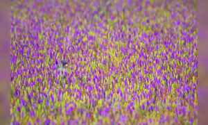 Can You Spot the Raptor Hiding in the Sea of Purple Flowers? (And Identify What Species It Is?)