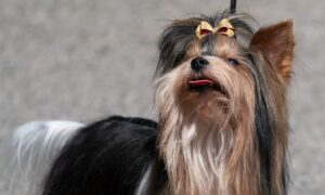 No Audience, New Venue, but Westminster Dog Show Barks On