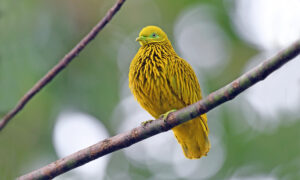 Meet the Golden Fruit Dove: A Gorgeous Bird That Will Stun You With Its Special Appearance