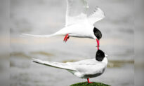 UK Photographer Snaps Stunning Picture of 2 'Lovebirds' Appearing to Share a Kiss