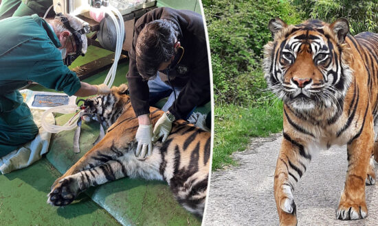 Vet Performs World-First Surgery to Save Aged 205lb Sumatran Tiger's Ulcerated Eye